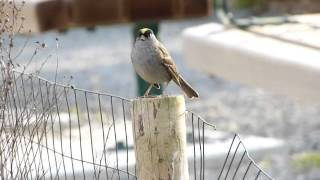 Golden-crowned sparrow song (Zonotrichia atricapilla)