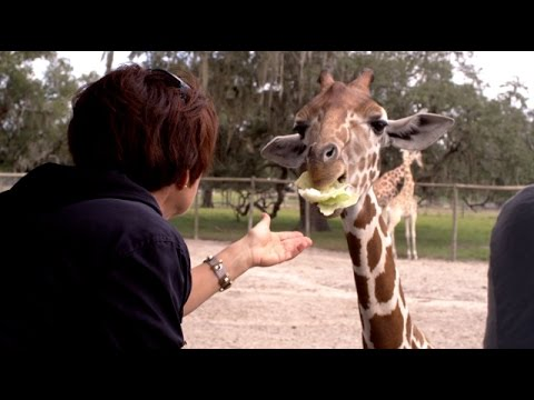 Thumbnail: Giraffe Ranch - An Amazing Safari Experience