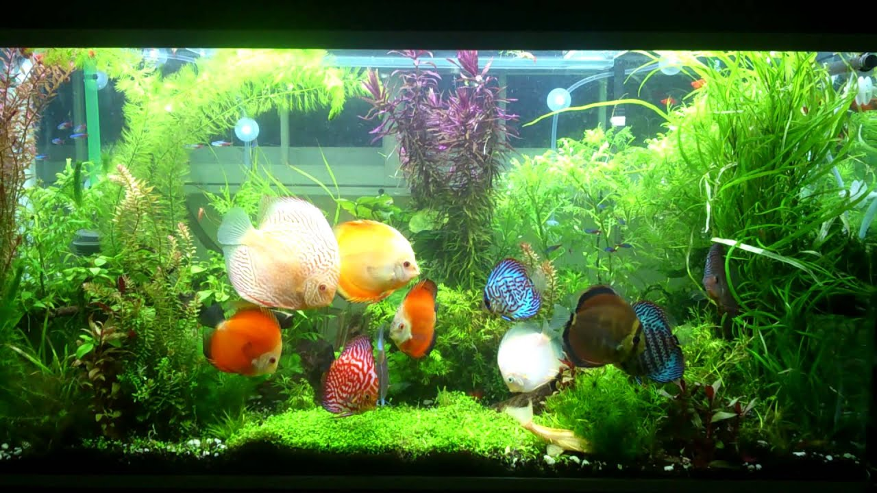 4ft discus planted tank upgraded youtube for Best place to buy discus fish