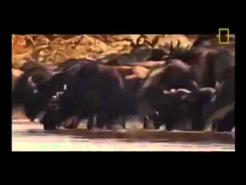 Animal Documentary National Geographic: FIVE STAR KILLERS -