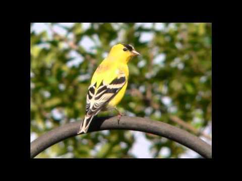 Roger Whittaker - Yellow Bird