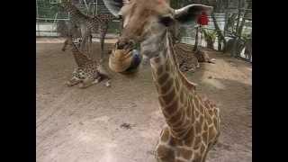 Смешной жираф :)) Прикольно! :)