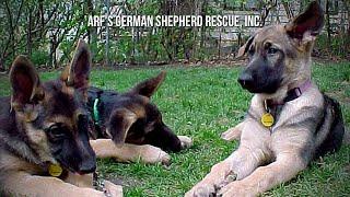 Arf's German Shepherd Rescue, Inc.