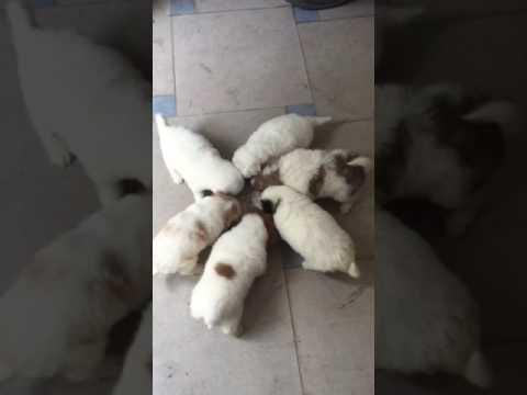 bán chó cảnh poodle lai nhật tại hà nội- 0988579051