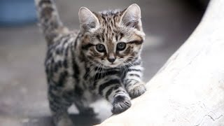= ^ ^ = Black footed cat = ^ ^ =