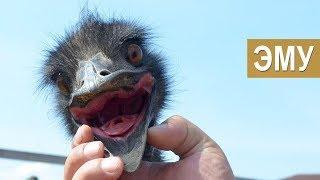 Содержание и разведение Эму. Отличие от Африканского страуса. Зооферма