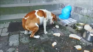 Beagle czeka na Waszą pomoc!