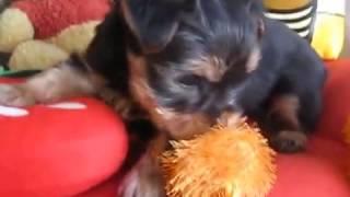 子犬のブリーダー直販支援サイト「子犬の窓口」 加藤ブリーダーのヨーク...