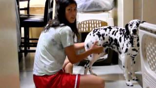 Dog Dalmatian Kennel Training Lesson