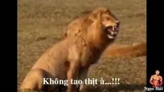 Khi thánh cười sư tử biết tin ngày 29/7 tận thế!!!!!!