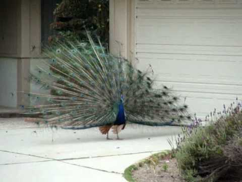 California Town Is Home to Hundreds of Free-Roaming Wild Peacocks