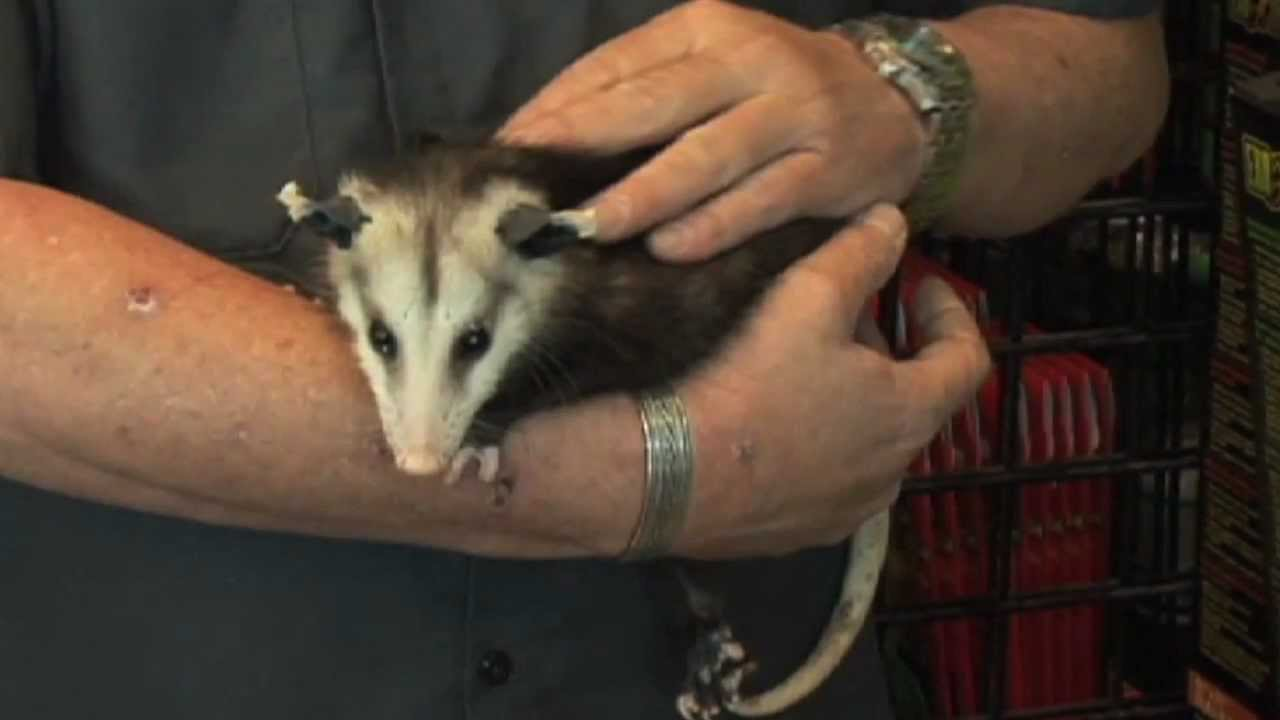 Consider a North American Opossum For Your Next Pet