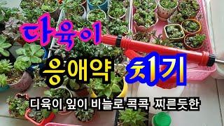 🚨다육이 응애약 치기 🕷( 응애 퇴치) 다육이 잎에 바늘로 콕콕 찌른듯한 자국이 생기거나 동색 같은 이상한 점이 생기면 응애를 의심해 보세요💖올리비아다육 Succulents