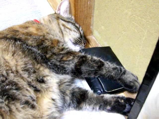 汗臭くなった革の財布が大好きな猫-2