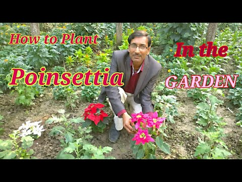 How to Plant Poinsettia in Your Garden// Growing and Caring Tips for Poinsettia.