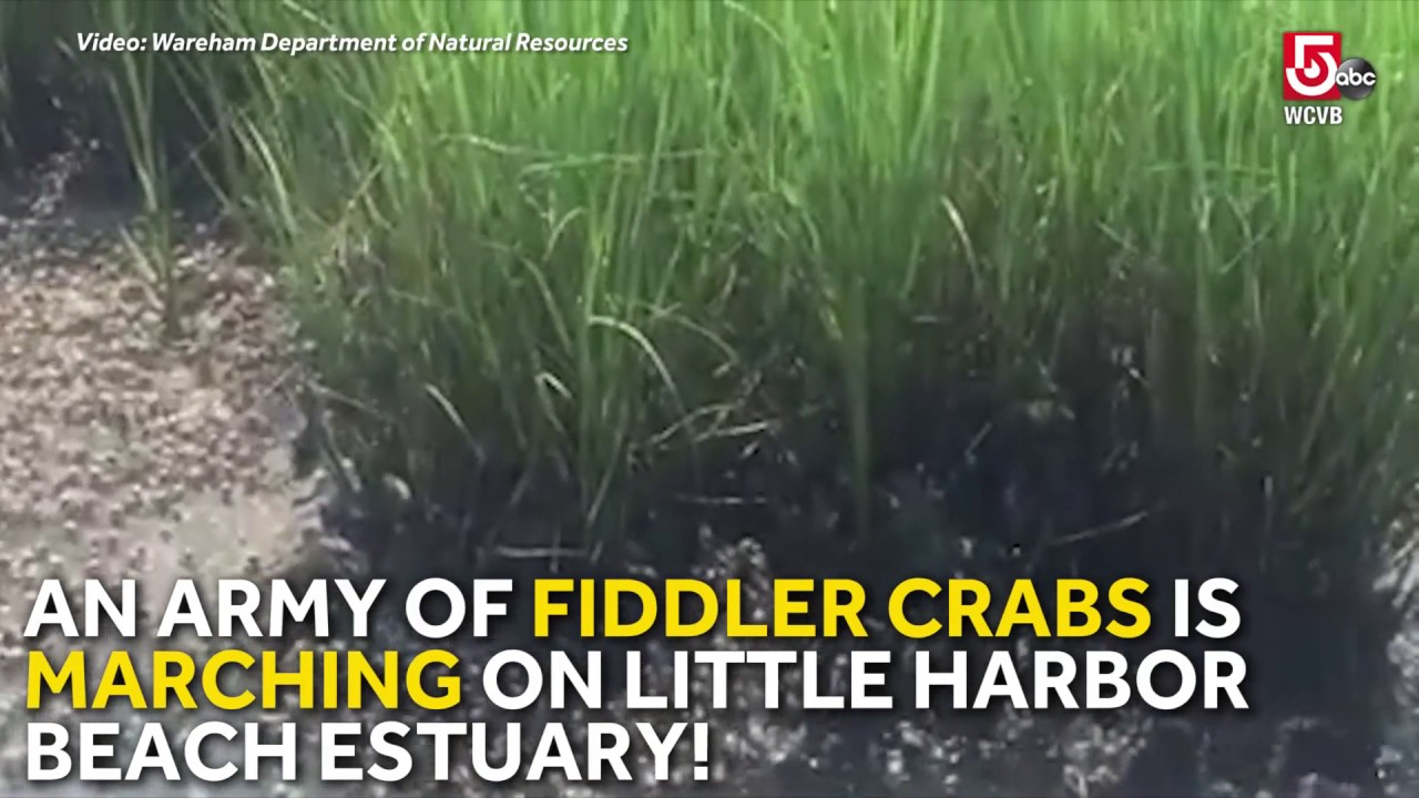 Fiddler Crab Army Marches On Little Harbor Beach