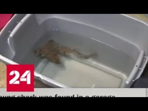 В США раскрыта кража акулы из океанариума - Россия 24