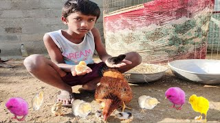 Murgi Kodi Hen Harvesting Eggs to Chicks Results of Broody Hen Hatched ''BORN'' Small Birds