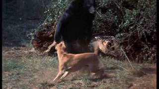 Walt Disney's Old Yeller 1957 Old Yeller Saves Arliss from the Bear