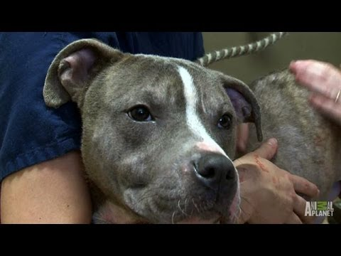 Parolee, Mondo, Opens His Heart and Home | Pit Bulls and Parolees