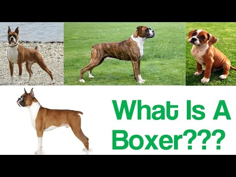 Introducing The Boxer!!!!