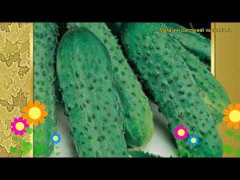 Огурец гибридный Пасалимо f1. Краткий обзор, описание характеристик, где купить семена | гибридный | пасалимо | описание | краткий | пасали | огурец | обзор | f1