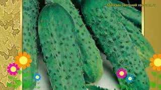 Огурец гибридный Пасалимо f1. Краткий обзор, описание характеристик, где купить семена