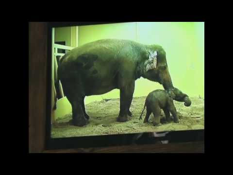 The Birth of a cute little Elephant Baby