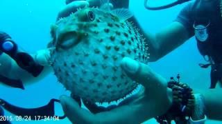 Рыба шар / Balloon fish Sharm el-Sheikh, Naama bay