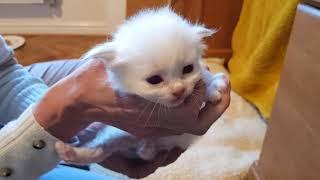 Birman Kittens 2021  From birth to new homes VLOG #4