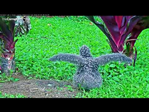 Makalii Growing Up – Laysan Albatorss Cam – March 20, 2018
