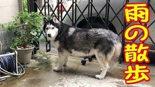 またまた週末雨模様、ハスキー犬クッキーは自宅車庫でフラフラ ジャーマ...