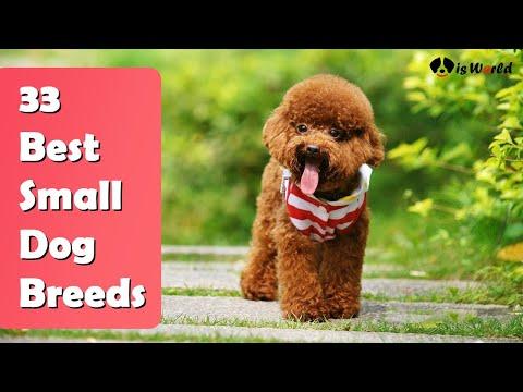 33 Best Small Dog Breeds | Popular Small Dog Breeds | Dog Is World