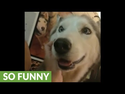 Super needy husky demands owner's unceasing affection