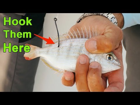 How To Hook Pinfish To Catch More Redfish, Snook, Trout & Tarpon