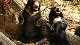 Sun Bears Prank, Malay bear dancing - Малайский медведь танцует