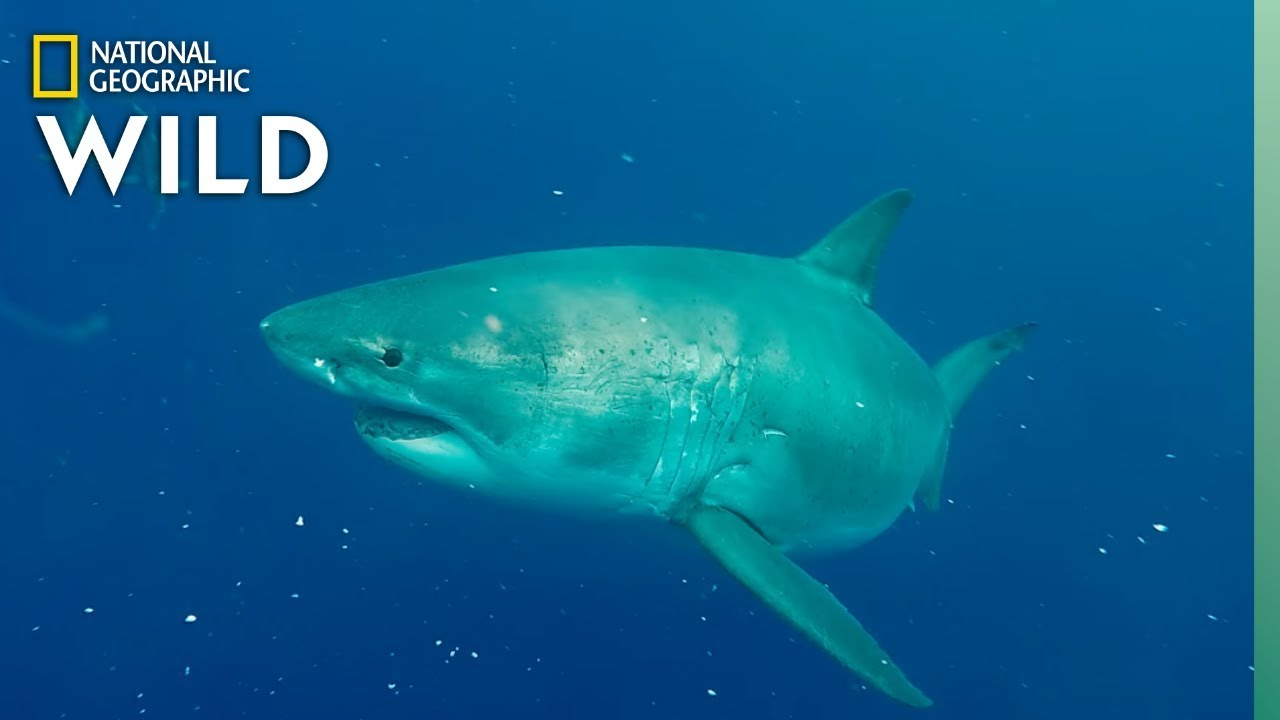 Worlds Biggest Great White? | SharkFest