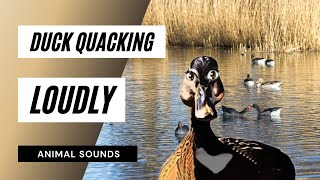 When A Duck Quacking - Sound Effect - Animation
