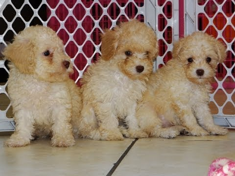 Teacup poodle puppies for sale in los angeles