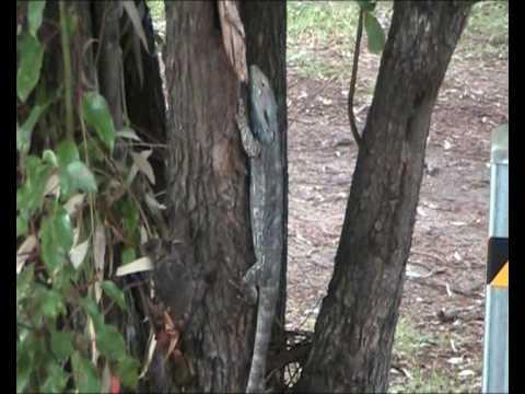 """""""Allora"""" - Queensland, Australia."""