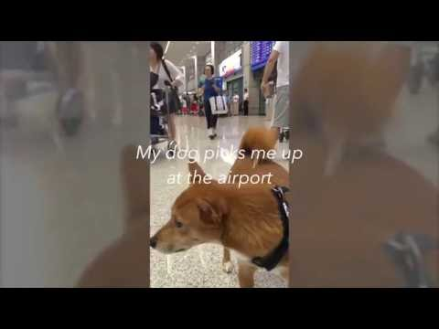 Dog meets his owner at the airport