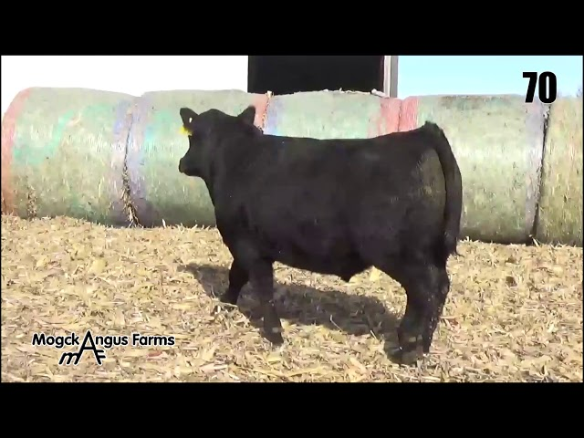 Mogck Angus Farms Lot 70