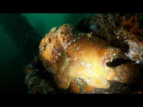 Giant anglerfish (aka giant frogfish)