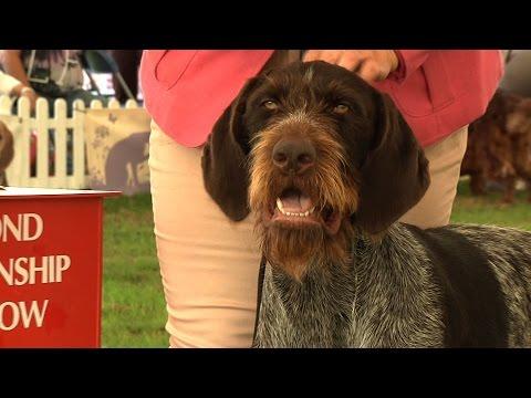 Richmond Championship Dog Show - Gundog group