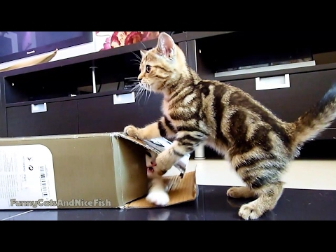 Cute Kittens playing hide and seek with box