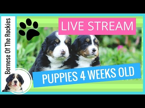 [LIVE] Bernese Mountain Dog Puppies 4 Weeks Old | Bernese Of The Rockies