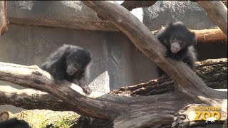 Sloth Bear Cubs Growing By Leaps and Bounds