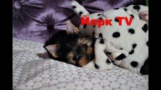 Как приучить щенка Йорка ходить на пелёнку по команде. Йорк TV #2