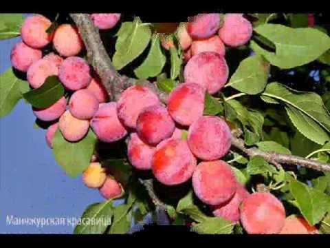 Слива Утро Слива каталог растений Эко сад