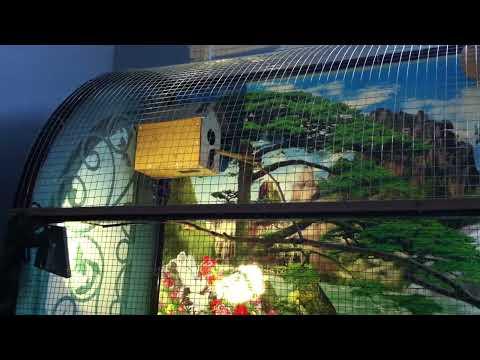Lần đầu ghép cặp Chích Chòe Lửa trong aviary